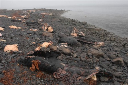 Narwhal massacre in Greenland