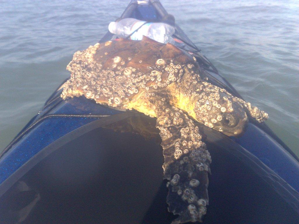 Lagoon turtle